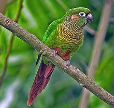 Blaze-winged Conure/Parakeet (Pyrrhura frontalis devillei)