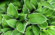 Hosta, perennials with a compact or dense korotkovetvistym rhizome and root system consisting of threadlike roots fibrillose