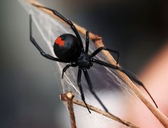 Redback Spider native to Australia is a member of the venomous widow spiders.  Other common names include red-striped spider, red-spot spider, jockey spider, Murra-ngura spider, Kapara spider and the Kanna-jeri spider.