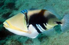 Lagoon Triggerfish by Benthichi