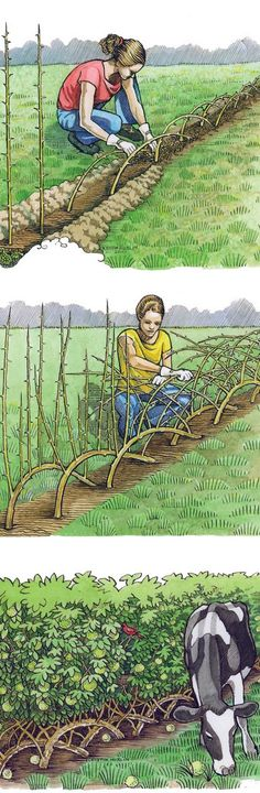 Building a Living Fence. Major living fence applications in the U.have utilized Osage orange trees (Maclura pomifera), also called hedge apple or horse apple. For an incredibly tough, enduring windbreak grown as shelterbelts to prevent wind erosion. Outdoor Projects, Garden Projects, Farm Gardens, Outdoor Gardens, Cerca Natural, Building A Fence, Living Fence, My Secret Garden, Garden Landscaping