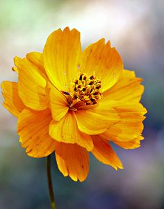 by Mercedes Salvador Flowers Nature, Exotic Flowers, Amazing Flowers, Yellow Flowers, Beautiful Flowers, Ikebana, Dame Nature, Belleza Natural, Zinnias