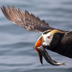 Tufted Puffins deliver fish to their chicks by carrying up to 20 small fish in their bills at a time! 🐟🐟🐟⠀