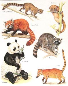 Racoons and Pandas Vintage 1984 Animals Book by mysunshinevintage