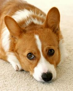 Tod the Pembroke Welsh Corgi, from The Daily Puppy (i.e. probably the best website ever created).