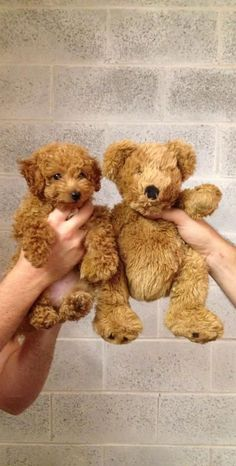 Goldendoodle or teddy bear?