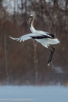 Red-crowned Crane by Antero Topp