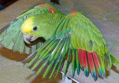 Magna Double Yellow-Head Amazon Parrot