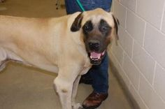 Sammie is an adoptable Mastiff Dog in Bucyrus, OH. Sammie is a 4 year old, neutered male, English Mastiff. Sammie is 200 pounds plus. He was a loving pet but had to be surrendered due to a move. Sammi...