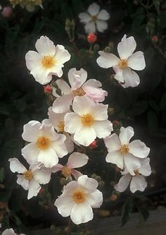 Roses that bloom in the shade. Zones 4-9 Information on Penelope, Erfurt, Buff Beauty, Cornelia, and Kathleen roses.