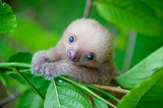 Picture of a two-toed sloth in Costa Rica