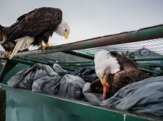 Dirty Birds: What it's like to live with a national symbol
