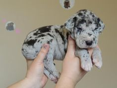 baby Great Dane. My favorite dog!