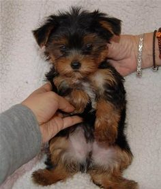 Full-Grown Teacup Yorkie & Bing Images Full-Grown Teacup Yorkie & Bing Images Source by The post Full-Grown Teacup Yorkie & Bing Images appeared first on Bruce Kennels. Shar Pei Puppies, Puppies And Kitties, Yorkie Puppy, Cute Puppies, Cute Dogs, Pomeranian Dogs, Cavapoo Puppies, Poodle Puppies, Tiny Puppies