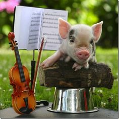 Teacup pig plays violin in a tiny orchestra. Cute Baby Pigs, Cute Piglets, Cute Baby Animals, Farm Animals, Funny Pig Pictures, Pig Pics, Pocket Pig, Teacup Piglets, National Pig Day
