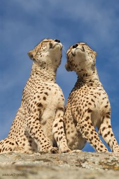 Africa |  'Es liegt was in der Luft'.  There is something in the air. Cheetahs |  © Marion Vollborn
