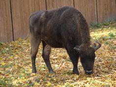 Co się działo w Puszczy Białowieskiej? – tak-czy-siak Moose, Animals, Animales, Animaux, Mousse, Animal, Animais, Elk