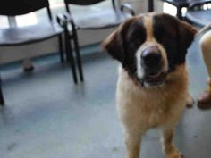 SAFE - 08/18/15 - LASSIE - #A1047758 - Urgent Brooklyn - FEMALE BROWN/WHITE ST/ BERNARD SMITH MIX, 4 Yrs - OWNER SUR - EVALUATE, NO HOLD Reason PERS PROB - Intake Date 08/13/15 Due Out 08/13/15 - CAME IN WITH BEETHOVEN #A1047757