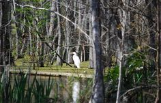 White Egrets in Louisiana #birding #onlylouisiana  5 Great Spots for Birding in Louisiana | Louisiana Travel