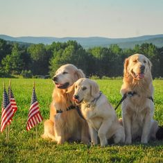 Happy 4th of July!! Golden Retriever father and sons in Maine