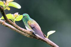 Snowy-bellied Hummingbird - Google Search