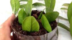Zamioculcas: Como Plantar