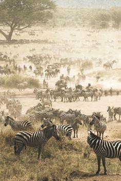 Africa | Zebra migration in Serengeti National Park, Tanzania | ©Martijn van Wageningen