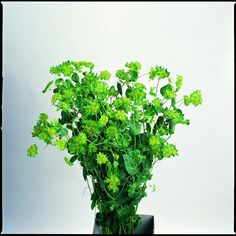Bupleurum is in flower in May in  the Hudson Valley. Learn more about Slow Flowers at http://www.festoononhudson.com/