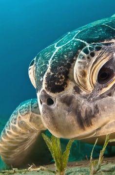 Seeker of the Peace - En el Caribe Mexicano llegan a desovar 3 tipos de tortugas. Sea Turtle Art, Baby Sea Turtles, Cute Turtles, Turtle Love, Cute Baby Animals, Funny Animals, Animals Sea, Sea Turtle Pictures, Turtle Painting