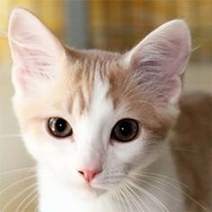 Gobi is an adoptable Domestic Short Hair - Buff And White Cat in Ventura, CA. DOB 4/15/13 I am happy-go-lucky Gobi, a buff/white DSH kitten. I am sweet, curious, talkative and playful. I am loaded w...