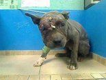 Found left for dead after being used as bait for dog-fighting ring