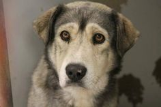 RESCUED>NAME: Shawn  ANIMAL ID: 30322817 BREED: Husky/shep mix  SEX: male  EST. AGE: 3 yr  Est Weight: 56 lbs  Health: heartworm pos  Temperament: dog friendly, people friendly  ADDITIONAL INFO: RESCUE PULL FEE: $12  Intake date: 12/3  Available: Now