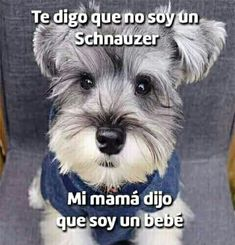"""Check out our site for additional info on """"schnauzer puppies"""". It is an outstanding spot to read more. Schnauzer Grooming, Mini Schnauzer Puppies, Miniature Schnauzer, Schnauzers, Animals And Pets, Baby Animals, Cute Animals, Animals Beautiful, Mundo Animal"""