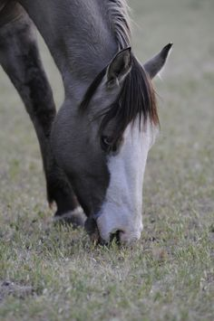 Photo Gallery - Shining C Grulla Horses Most Beautiful Animals, Beautiful Horses, Zebras, Grulla Horse, American Quarter Horse, All The Pretty Horses, Horse Pictures, Horse Photography, Horse Love