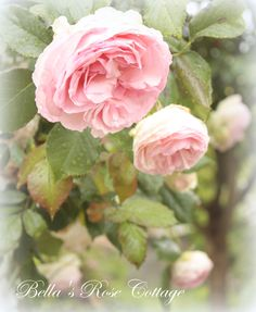 'Eden' climbing rose