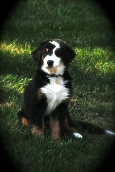 Bernese Mountain Dog Maxi. with that unique blaze, I would have named him Ziggy
