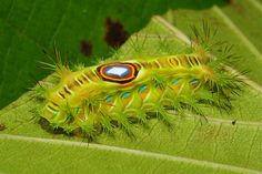 "Stinging Nettle Slug Caterpillar (Cup Moth, Squamosa sp., Limacodidae) ""Bullseye"" 