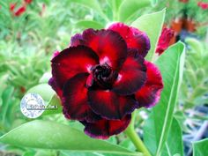 Kit com 05 sementes da Cor KO 34 - Adenium Obesum - Rosa do Deserto Flor com tamanho diferenciado em relação às outras Adenium!
