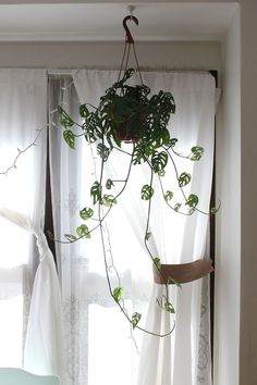 hanging swiss cheese philodendron