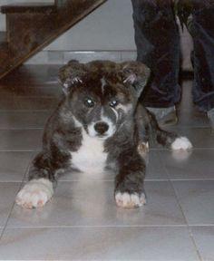 Beautiful Akita Dog Breeds Image « Pet Dog Breeds