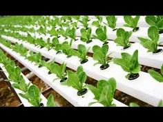 Hydroponic Gardening In this video we talk about hydroponics and how you can grow crops such as lettuce fast and easy. This gardening method is changing the world and how they grey plants and vegetables. Hydroponic gardening is done by putting pre germinated plants into pipes with constant flowing water. Proper Nutrients are added to … #hydroponicslettuce