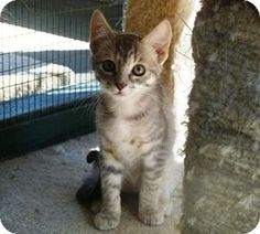 Lathrop, CA - Domestic Shorthair. Meet Sydney, a kitten for adoption. http://www.adoptapet.com/pet/13700724-lathrop-california-kitten