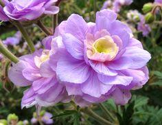Double Meadow Geranium 'Summer Skies' (Geranium pratense)