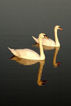 Swans on R Stour,Pamphill, Wimborne, april 2005 064 copy