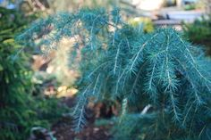 Cedrus deodara 'Feelin' Blue' Common name: Feelin' Blue deodar cedar Where it will grow: Hardy to 0 degrees Fahrenheit; zones 7 to 9  Light requirement: Full sun is best, but it will adapt to partial shade. Water requirement: Average (1 inch of water per week) but once established, it's somewhat drought tolerant. Mature size: 2 feet high and 4 to 6 feet wide