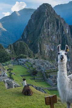 """Discovery """"Greetings from Machu Picchu! The ancient Incas domesticated llamas to provide wool, meat, and dashing good looks."""" 📸 + text by Derek Herndon Machu Picchu, Places To Travel, Places To Visit, Travel Destinations, Inka, Peru Travel, Tier Fotos, South America Travel, Future Travel"""