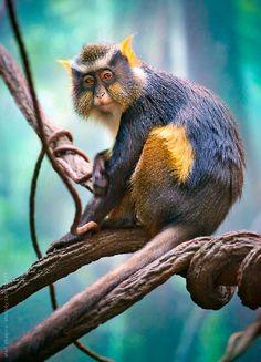 Wolf's Mona Monkey by alan shapiro