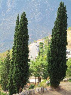 Cypress trees, Delphi