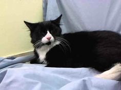 Adopted/rescued! TO BE DESTROYED 4/5/14 Manhattan Center My name is BELLA. My Animal ID # is A0994072. I am a female black and white domestic mh mix. The shelter thinks I am about 1 YEAR 1 MONTH old.  I came in as a STRAY from NY 10029…