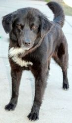 Kira is an adoptable Border Collie Dog in Yukon, OK. Beautiful girl! �Kira means, black hair and brown eyes in Irish. $80.00 adoption fee.  � � HELP!!! We need canned dog food for our puppies, seni...